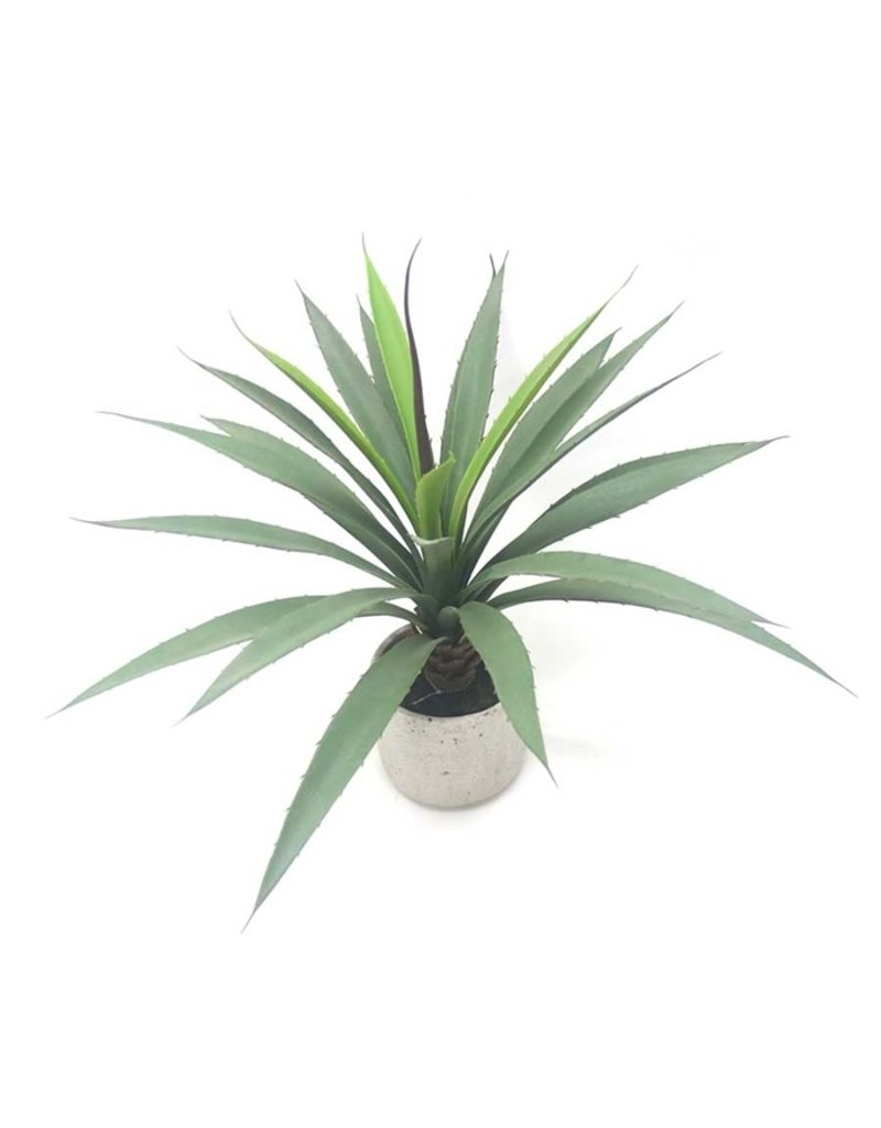 By-Boo Plant Agave