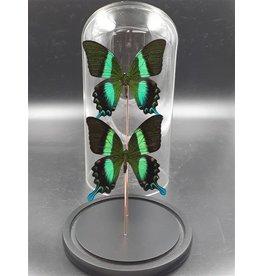 Damn Stolp met echte vlinders 2 stuks