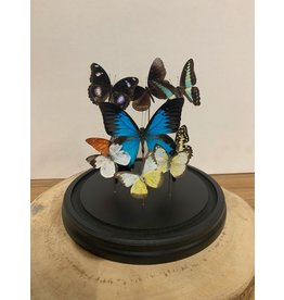 Damn Stolp met echte vlinders 8 stuks