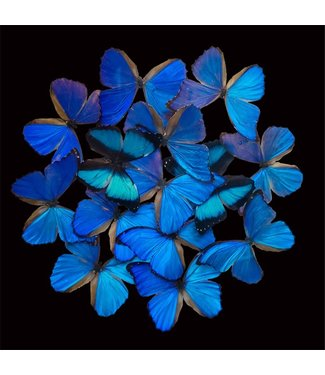 Blue Butterfly Explosion