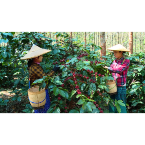 Dutch Barista Coffee Myanmar - Green Land Estate