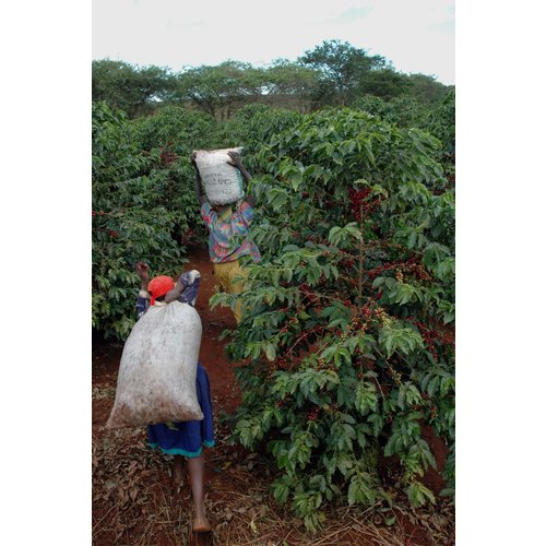 Dutch Barista Coffee Kenya  - Karani