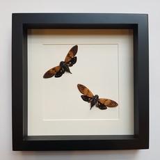 Twee Ambragaeana ambra in lijst