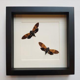 Twee Ambragaeana ambra in lijst (25X25)
