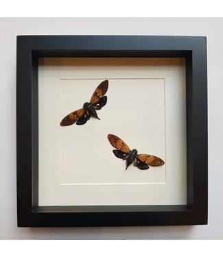 Two Ambragaeana ambra in frame
