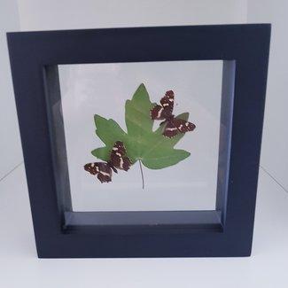 2 Araschnia Levana met gedroogd blad in lijst