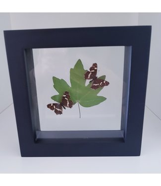 2 Araschnia Levana with dried leaf in frame