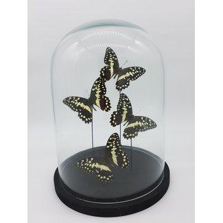 Four Papilio Demodocus in dome (31X23)