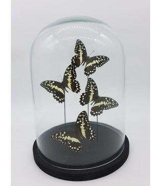 Vier Papilio Demodocus in stolp (31X23)