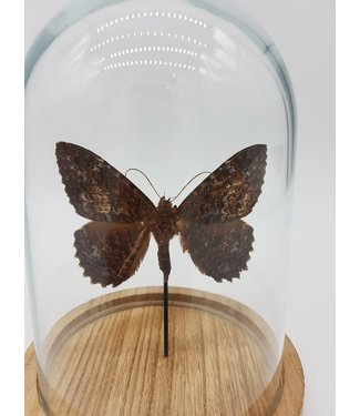 Butterfly in dome (17X13)