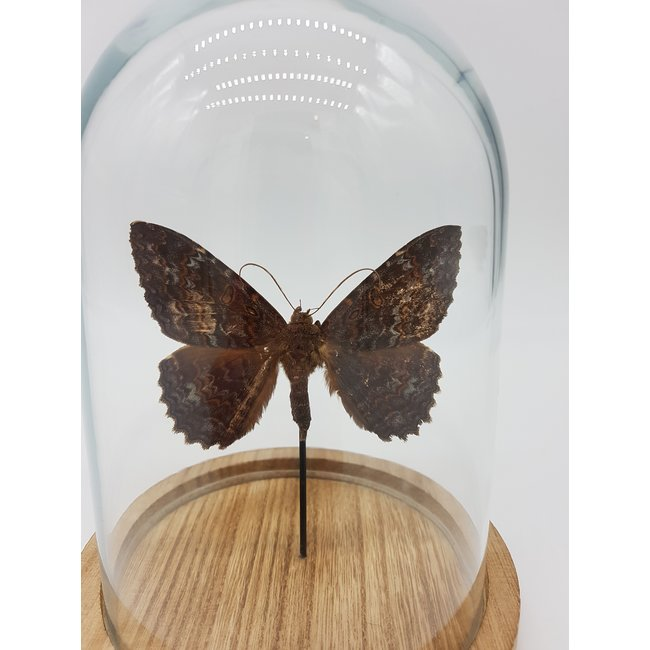Brown moth in dome (6.7''x5.1'')