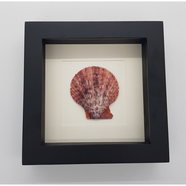 """Shell in frame (6.3""""x6.3"""")"""
