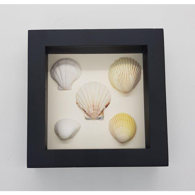 "5 shells in frame (6.3""x6.3"")"