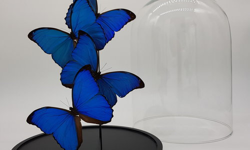Butterfly in glass dome