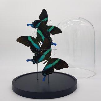 "Three Papilio Blumei in dome (12.2"" X 9.1"")"