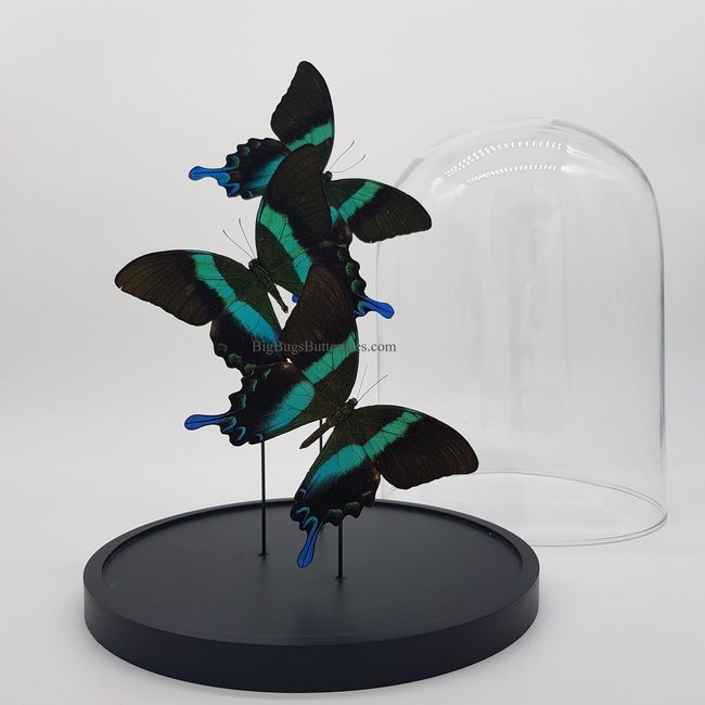 "Three Papilio Blumei in dome (12.2"" X 9.1"")"