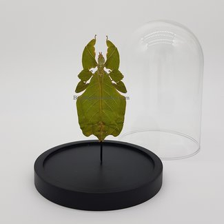 "Walking leaf (Phyllium) in dome (6.7"" X 5.1"")"