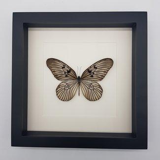 "Idea Blanchardi framed (10"" X 10"")"