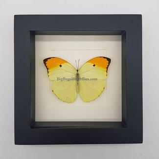 "Butterfly framed (6.3"" X 6.3"")"