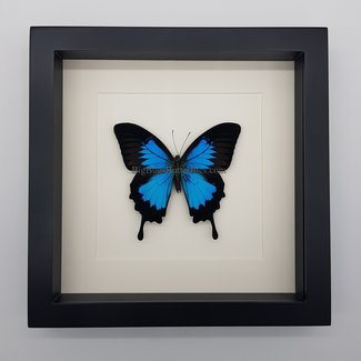 Papilio Ulysses in lijst (25x25)