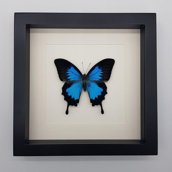 "Papilio Ulysses framed (10"" X 10"")"