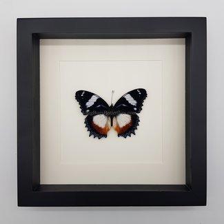 """Hypolimnas Dexithea framed (10"""" X 10"""")"""