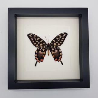 Papilio Antenor in lijst (25x25)