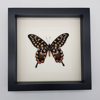 Papilio Antenor in lijst