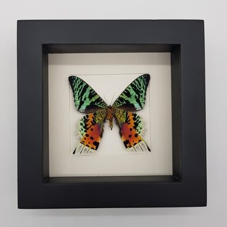 "Urania Ripheus bottom side framed (6.3"" X 6.3"")"