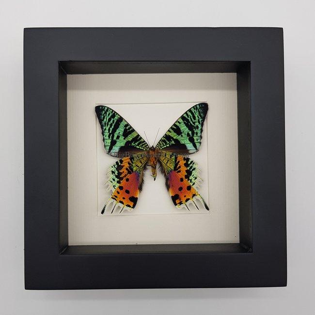 """Urania Ripheus bottom side framed (6.3"""" X 6.3"""")"""