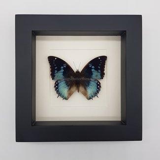 """Charaxes Smaragdalis framed (6.3"""" X 6.3"""")"""