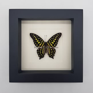 "Graphium Agamemnon framed (6.3"" X 6.3"")"