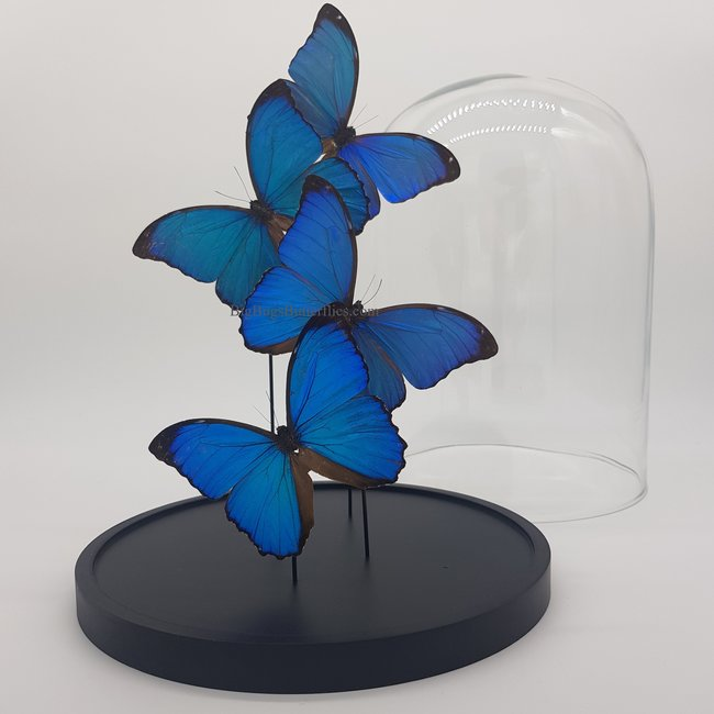"4 Morpho Menelaus in dome (12.2"" X 9.1"")"