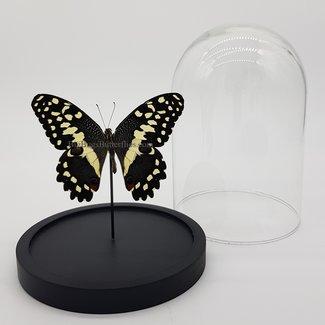"""Papilio Demodocus in dome (6.7"""" X 5.1"""")"""