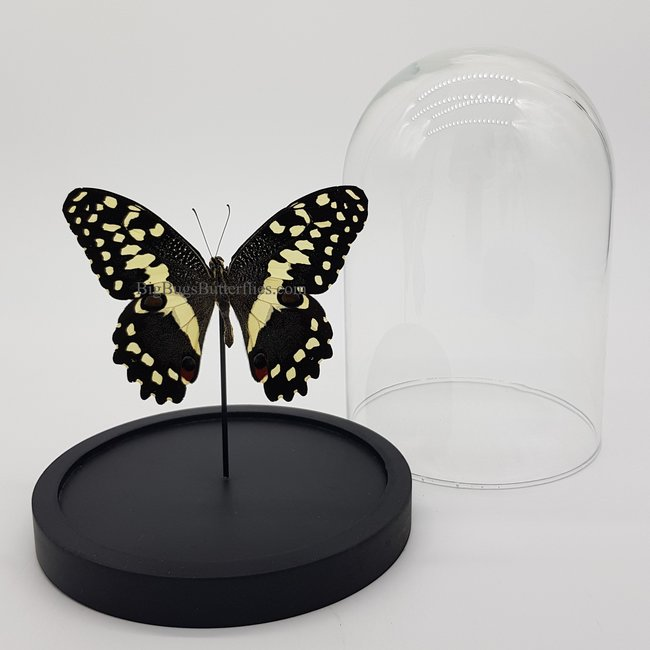 "Papilio Demodocus in dome (6.7"" X 5.1"")"