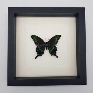 "Papilio Maackii framed (10"" X 10"")"