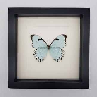 """Morpho Catenaria framed (10"""" X 10"""")"""