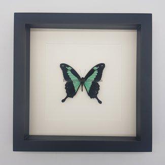 Papilio Phorcas in lijst (25x25)