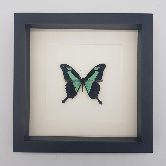 """Papilio Phorcas framed (10"""" X 10"""")"""
