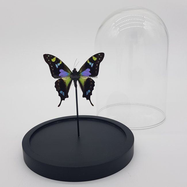 "Graphium Weiskei in dome (6.7"" X 5.1"")"