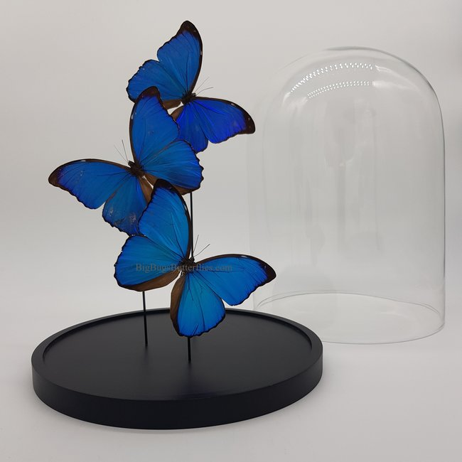 "Three Morpho Menelaus playfull in dome (12.2"" X 9.1"")"