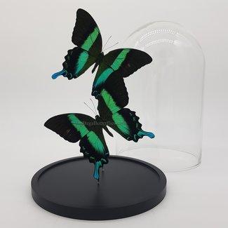 Twee Papilio Blumei in stolp (25X17)