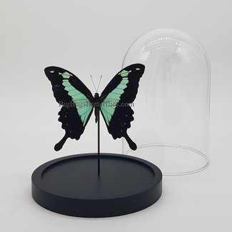 "Papilio Phorcas in dome (6.7"" X 5.1"")"
