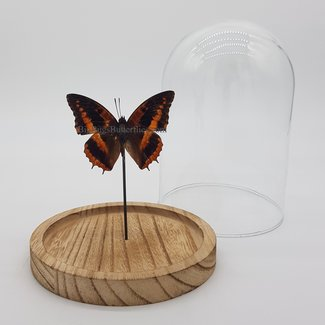 "Charaxes Cynthia in dome (6.7"" X 5.1"")"