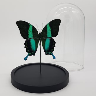 "Papilio Blumei in dome (8.3""X 5.5"")"