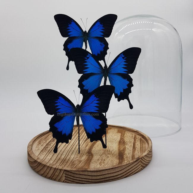 """3 Papilio Ulysses in dome (12.2"""" X 9.1"""")"""