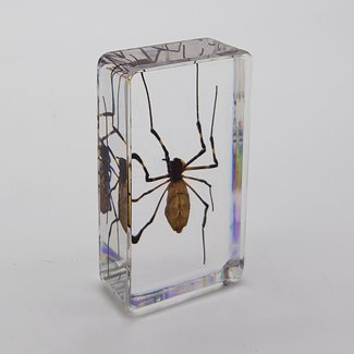 Spider in resin (7x4)