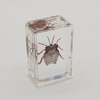 Beetle with golden legs in resin (3x4)