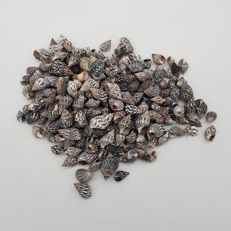Shells C