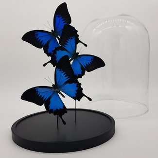 """3 Papilio Ulysses playfull in dome (12.2"""" X 9.1"""")"""